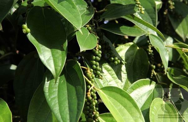 Фото лианы черного перца