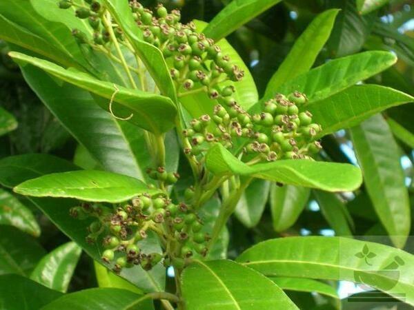 Фото растения пимента лекарственная