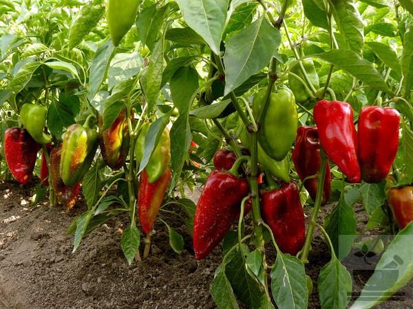 Фото растения сладкий перец