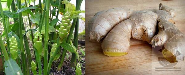 Фото растения имбирь