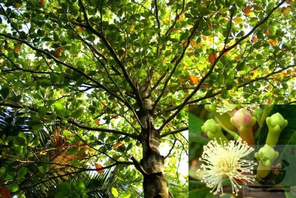 Фото гвоздичного дерева
