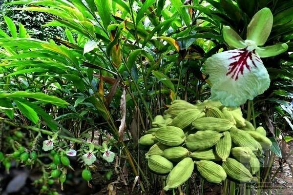 Фото растение кардамон