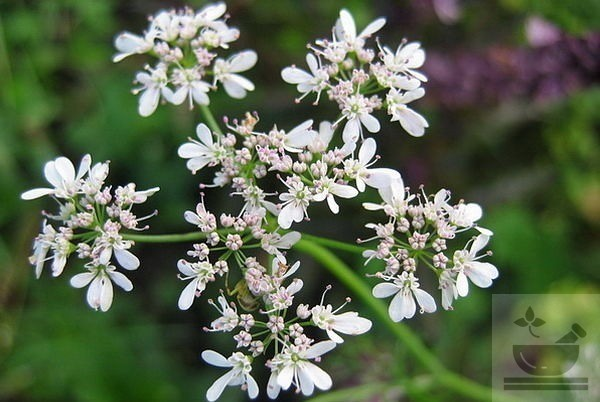 Фото цветение кориандра