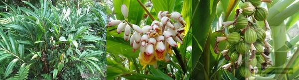 Фото растения кардамон
