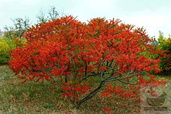 Сумах - уксусное дерево