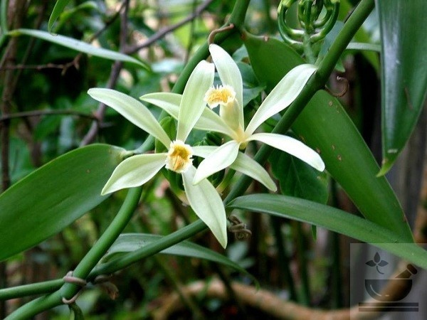 Фото растения ваниль