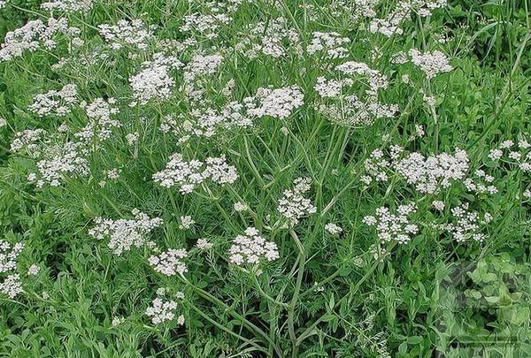 Фото растения зира (кумин)