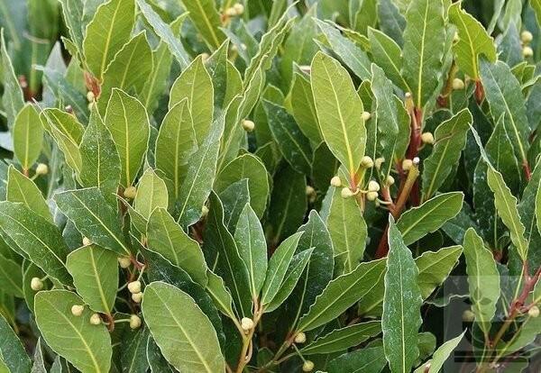 Фото лаврового дерева