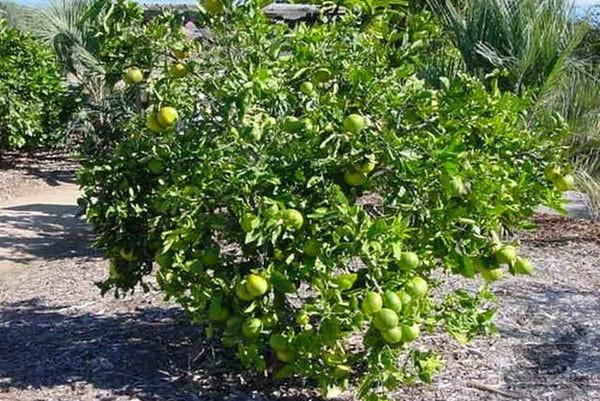 Растение свити