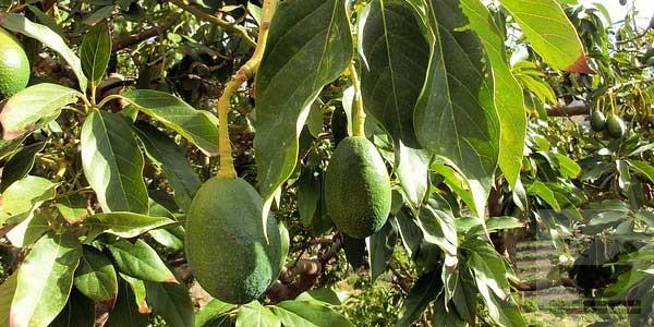 Фото дерева авокадо