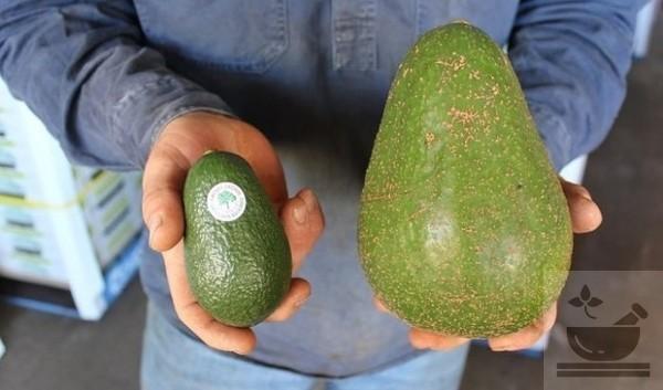 Виды авокадо