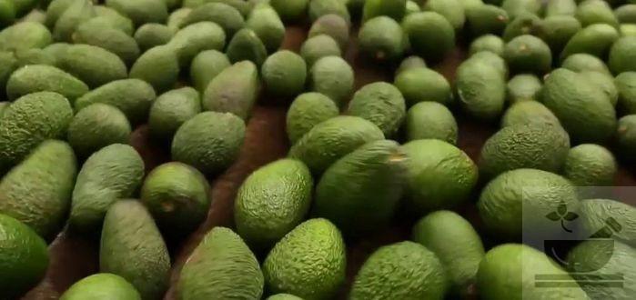 Авокадо что это такое фрукт или овощ
