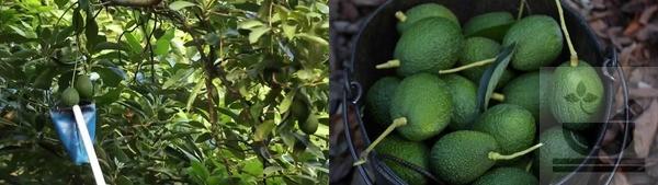 Как собирают авокадо