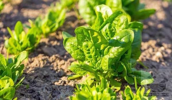 Фото растения шпинат