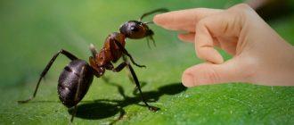 Как избавиться от муравьев народными средствами в доме