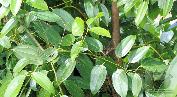 Китайское коричное дерево