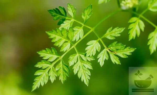Листья кервеля